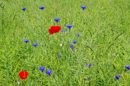 Meadow with poppies and cornflowers in front of a blue sky