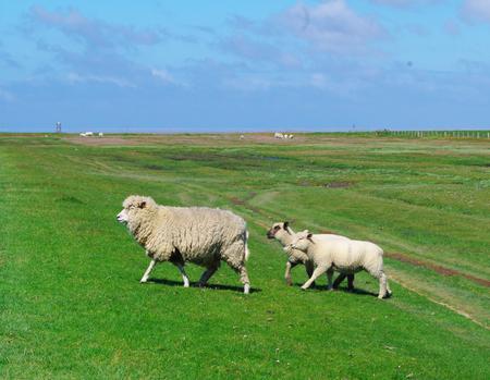 westerhever: running ewe sheep with their lambs Stock Photo