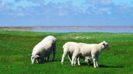 westerhever: Lambs on the salt meadow at Westerhever in front of the watt