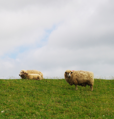 Grazing sheep on a dyke on the North Sea at Westerhever