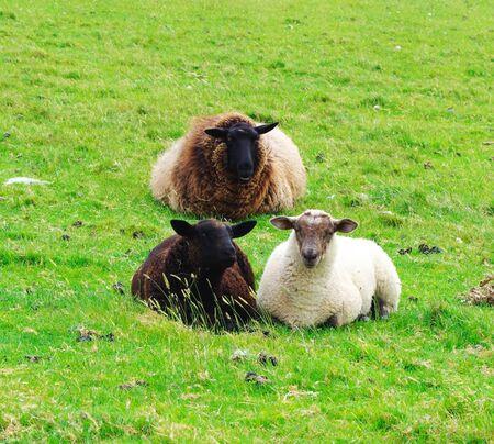 Zwarte schapen zitten