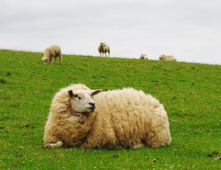 Weidende schapen op een dijk op de Noordzee in Westerhever Stockfoto