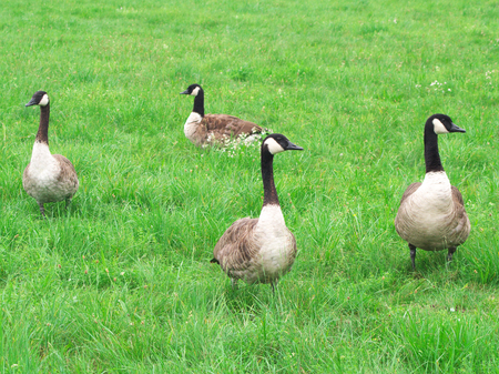 Canada geese on a meadow