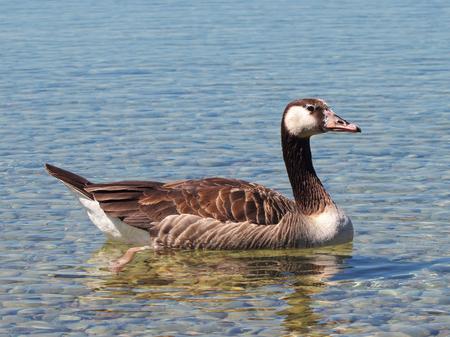 a greylag goose on Lake Starnberg