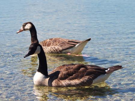 Zwei Kanada-Gänse auf Starnberger See Standard-Bild - 99265592