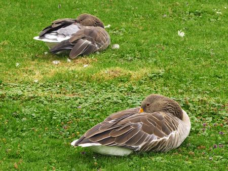sleeping Greylag geese Standard-Bild - 99308538