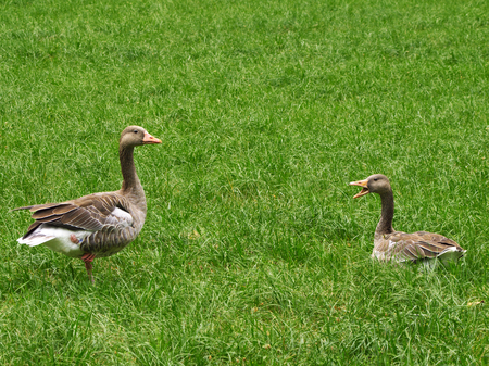 Greylag geese on a meadow Stock Photo