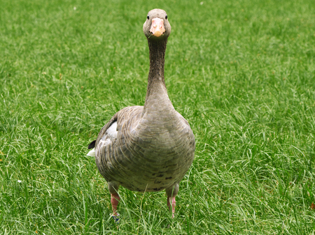 Greylag goose on a meadow in portrait
