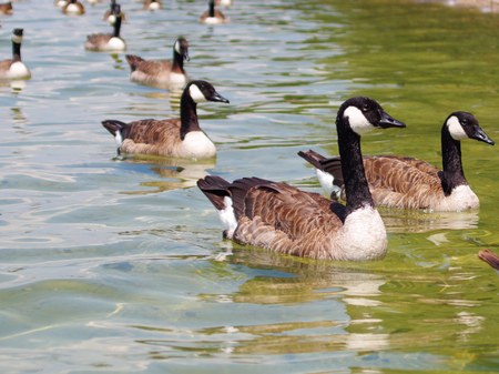 Eine Gruppe von Kanada-Gänse auf Starnberger See Standard-Bild - 99308409