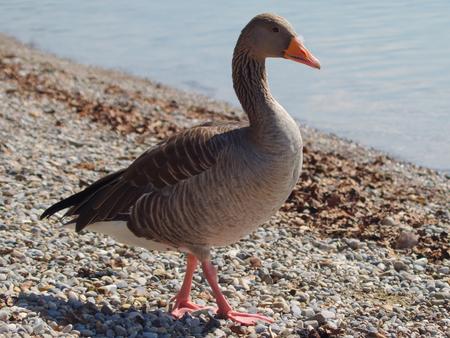 Greylag Goose on Lake Starnberg in Bavaria