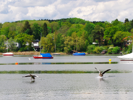 Greylag geese on the Ammersee in Bavaria
