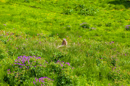 animal den: Marmot in an alpine meadow in summer mountains. Tignes, French Alps.