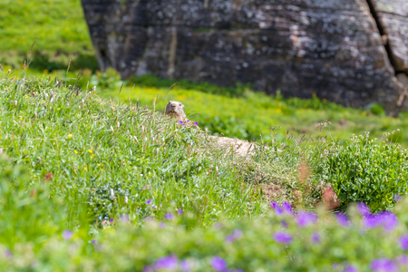 animal den: Marmot peeps out of the hole in an alpine meadow in summer mountains. Tignes, French Alps.