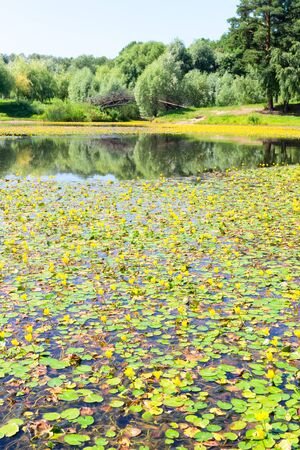 minnesota woods: Lake with yellow water lilies on a background of forest and bridge Stock Photo