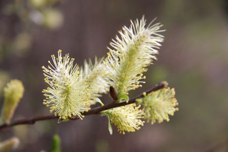Willow branch in blossom. Close up Stock Photo