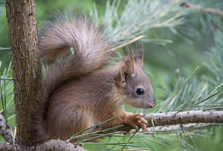 Young squirrel, sitting on a pine tree branch