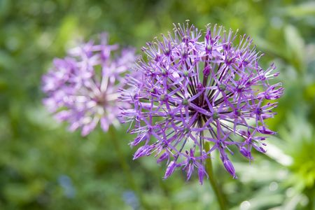 Allium flower (wild leek) in the spring garden
