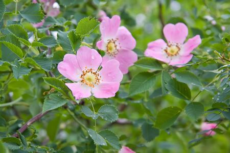 Dog rose Rosa canina flowers with water drops after rain