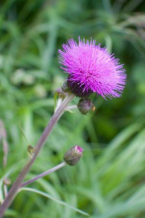 Blooming thistle, emblem of Scotland. Silybum marianum