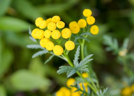 Tansy ( tanacetum vulgare ) flowers close-up