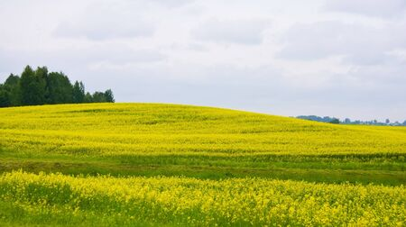 Rural landscape with yellow oilseed rape field