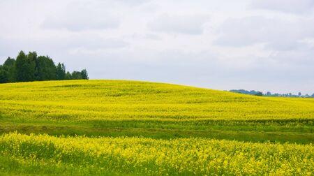 Rural landscape with yellow oilseed rape field