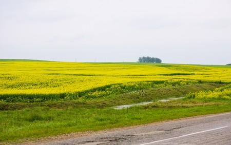 Road through oilseed rape field