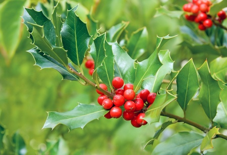 Holly tree branch with red berry fruits
