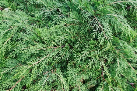 juniper tree: Cypress background. Eastern Arborvitae (Thuja occidentalis). Close-up