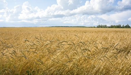 Ripe yellow wheat field landscape against blue sky Stock Photo