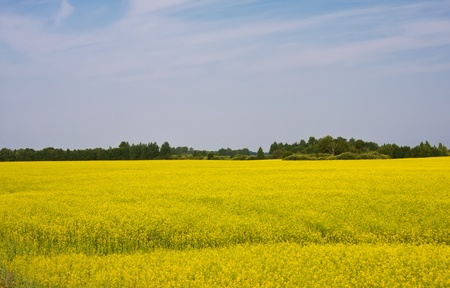 Rural landscape with yellow oilseed rape field photo