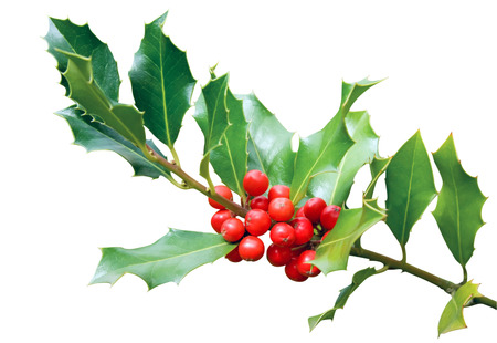 Holly tree branch with red berry fruits isolated on white photo
