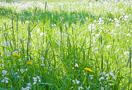 Green grass background with yellow dandelions and white flowers Stock Photo