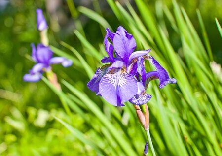 Tender violet Iris. Close up Stock Photo