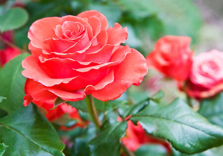 Red roses in summer garden