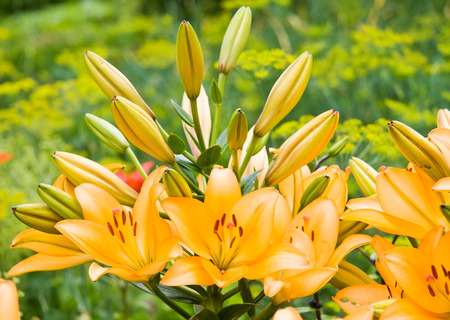 Orange garden lily with open flowers and buds Stock Photo