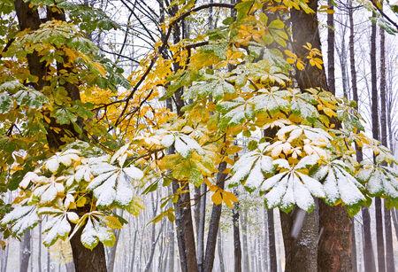 Chestnut Tree under snow in autumn park
