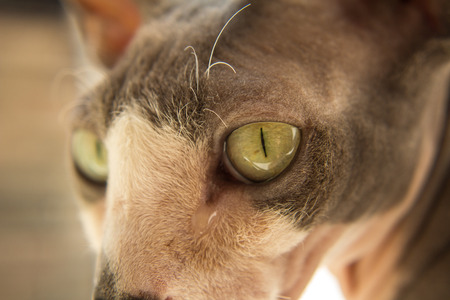 exceptionally: Sphynx cat Close Up Stock Photo
