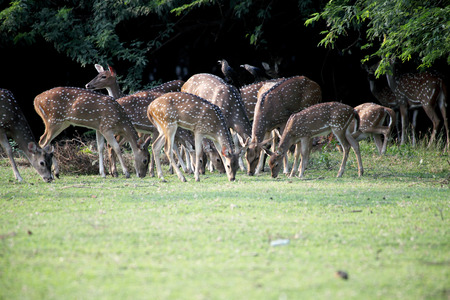 Group of Deer And Fawns in a park photo