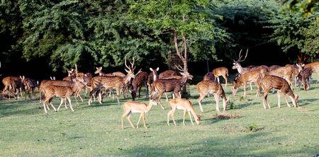 herd deer: Herd of spotted deers, India Stock Photo