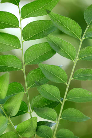 neem: Green curry leaves - sweet neem leaves for backgrounds
