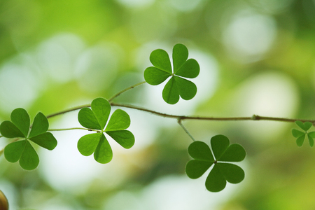 Three leaf clovers for backgrounds  photo