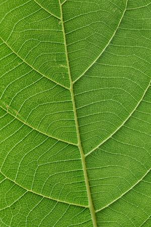 leaf close up: Close up of green leaf vein for backgrounds