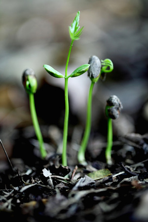 Baby plants growing from the soil photo