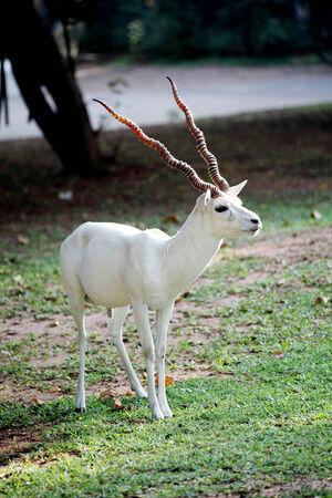 springbuck: white antelope