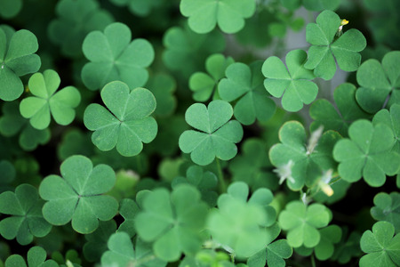 fortunateness: Clover leaves for background Stock Photo