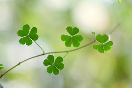 st patricks day: Three leaf clovers for backgrounds