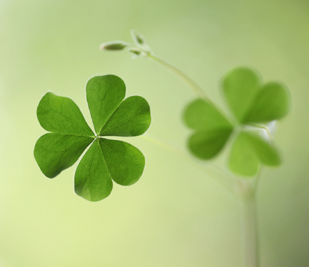 clovers: Three leaf clovers for backgrounds