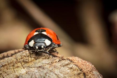 coccinella: 7-Spot Ladybird, Ladybug, Coccinella septempunctata