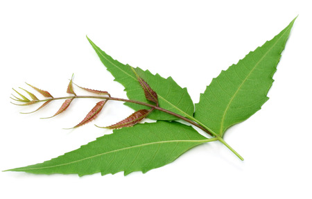 Herbal neem leaves over white background